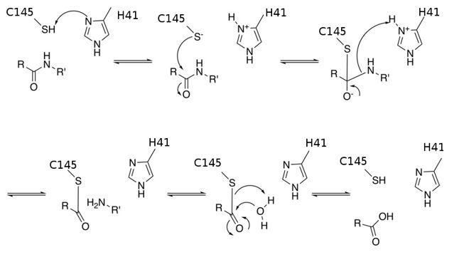Meccanismo della catalisi della cisteina proteasi Mpro.