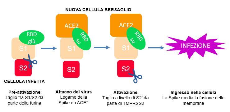 Rappresentazione schematic di CoV-2-S, e i siti di taglio per furina e TMPRSS2